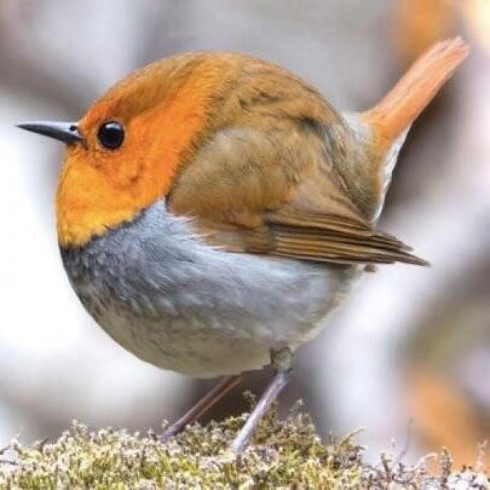 css bird